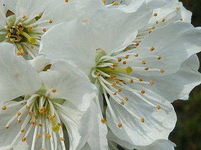 cherry blossom, white, spring, white blossom, cherry, tree, blossom