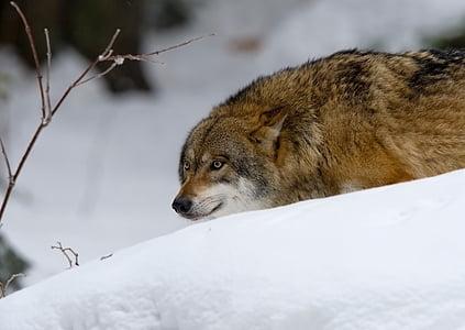 wolf, predator, pack animal, one animal, animal wildlife, animals in the wild, animal
