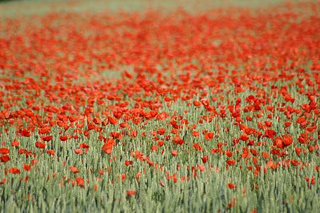 Mak, pestrofarebné, červená, jar, kvet, Príroda, pole