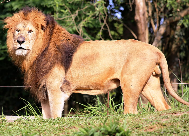 lion, looking, of profile, zoo, wild