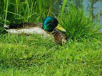 duck, waterfowl, finnish, in the grass, male, beach