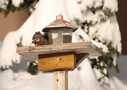 squirrel, winter, animal, snow, wildlife, squirrel feeding, bird