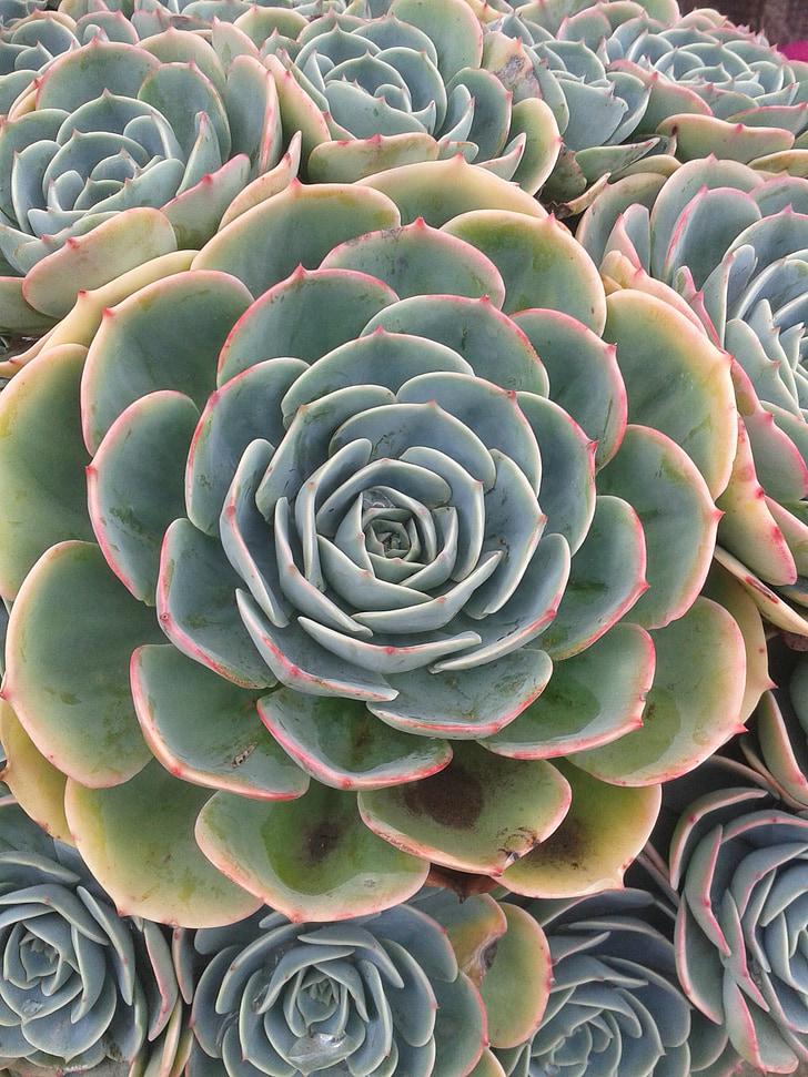 šťavnaté, rastlín, Zelená, Zelená, Záhrada