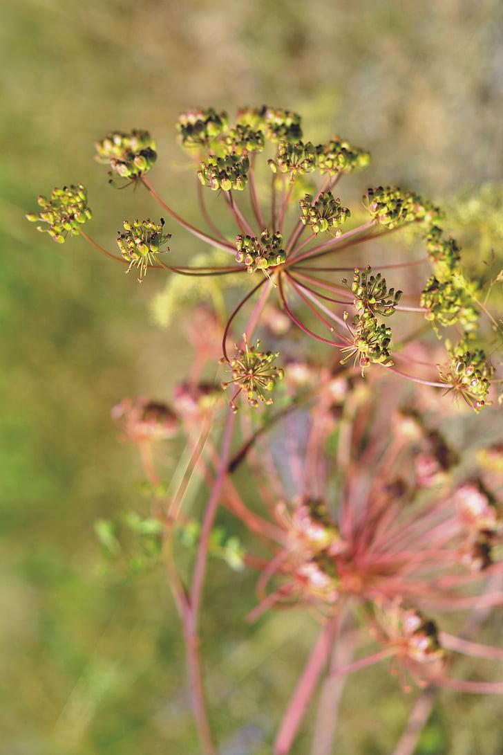 una flor d'un julivert, Prat, l'estiu, natura, planta, camp, llavors