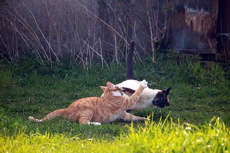 猫, 子猫, mieze 型, シャム猫, サイアム, 戦い, 再生