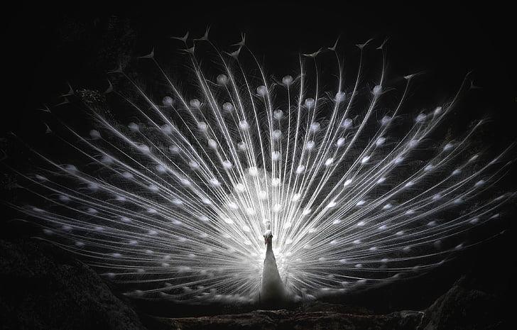 бял паун, колело, птица, гордост, красива, Majestic, Красив