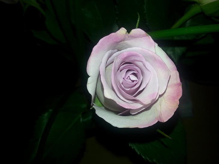 Rosa, rosa Rosa, flor