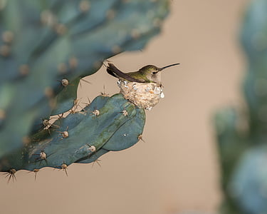 bird, cactus, plant, animal, nature, wildlife, hummingbird