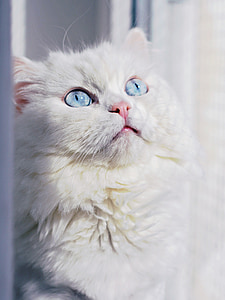cat, eyes, white, domestic cat, cat's eyes, animals, look