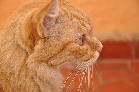 cat, orange, pet, animal
