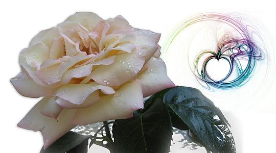 ruža, kapanje, kap vode, kapljica kiše, srce, ljubav, Sreća