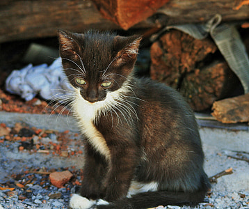 kitten, small, cat, black, white, timid, cute
