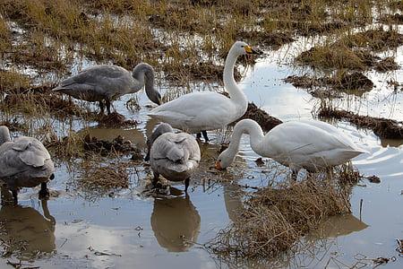 animal, swan, waterfowl, yamada's rice fields, diet, winter, winter messenger