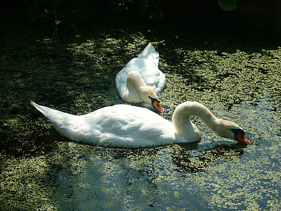 swans, tranquility, pond
