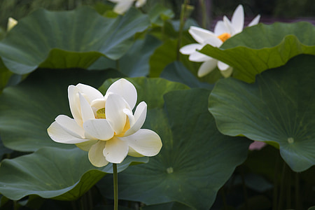 lotus, scenery, beautiful, splash, pond, nature, petal