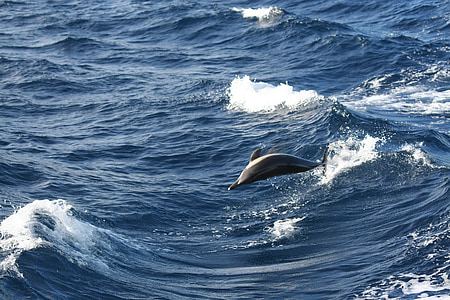 стрибок, Дельфін, Показати, Дельфіни, дельфінарій, тварин, море