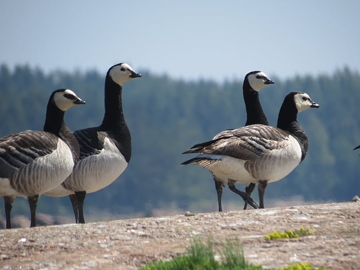 カオジロガン, ロック, 4 つ, 鳥, ブラック, ホワイト, ガチョウ