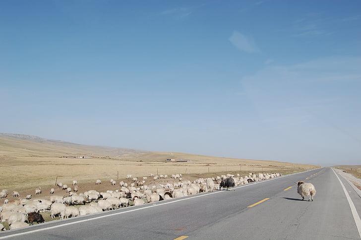 l'altiplà qinghai-tibet, el ramat, l'autopista, carretera, natura, desert de, animal