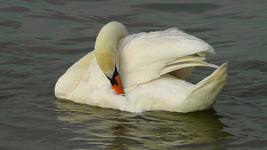 swan, bird, water bird, weis, animal, swans, water