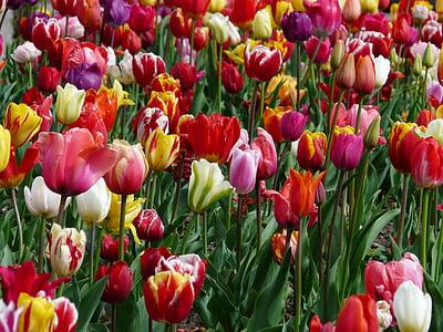 tulip field, tulip, tulpenbluete, colorful, color, spring, tulips