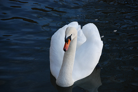 swan, bird, water, white, nature, animal, lake