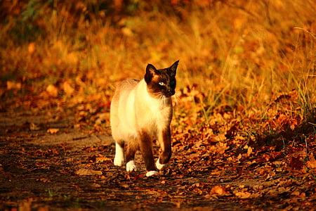 cat, mieze, kitten, siamese cat, siam, siamese, breed cat