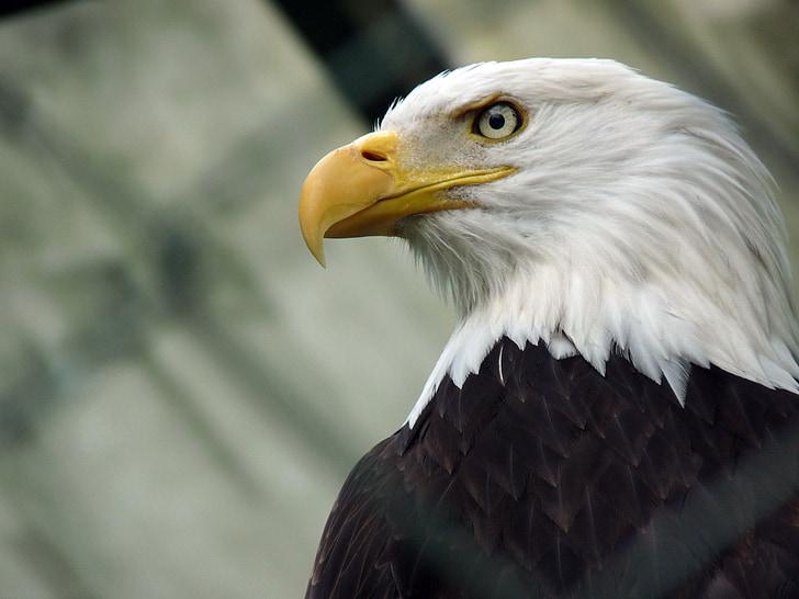 орел, Вашингтон орел, Морски орел, орел - птица, плешив орел, птица, САЩ