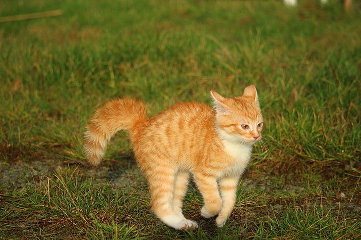 kattunge, Rödtigré, katt baby, katt, hösten, lekfull, äng