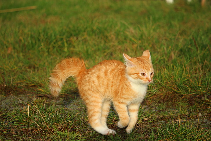kitten, red mackerel tabby, cat baby, cat, autumn, playful, meadow