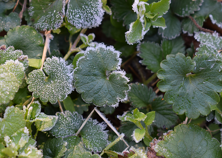 les gelades en fulles, gelades de primavera, fulla, fullatge, planta