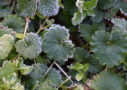 frost on leaves, spring frost, leaf, foliage, plant