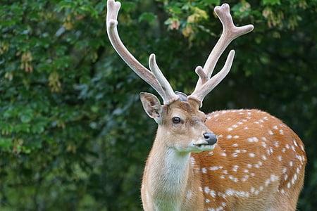 Hươu sao, Hirsch, cao hươu, động vật có vú, điểm, động vật chân dung, Cervus nippon
