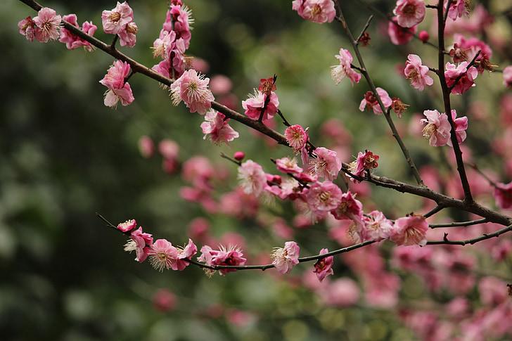 lilled ja puud, ploom, Palace pulber ploom