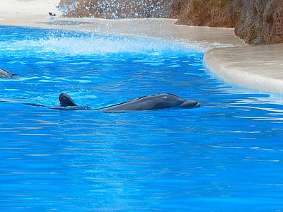 Афала, плуване, игра, делфините, почивка, първични, животни