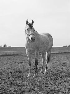 cavall, blanc i negre, blanc, les pastures