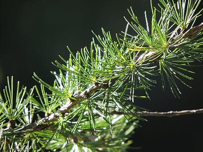 firs, fir, branch, nature, green, forest