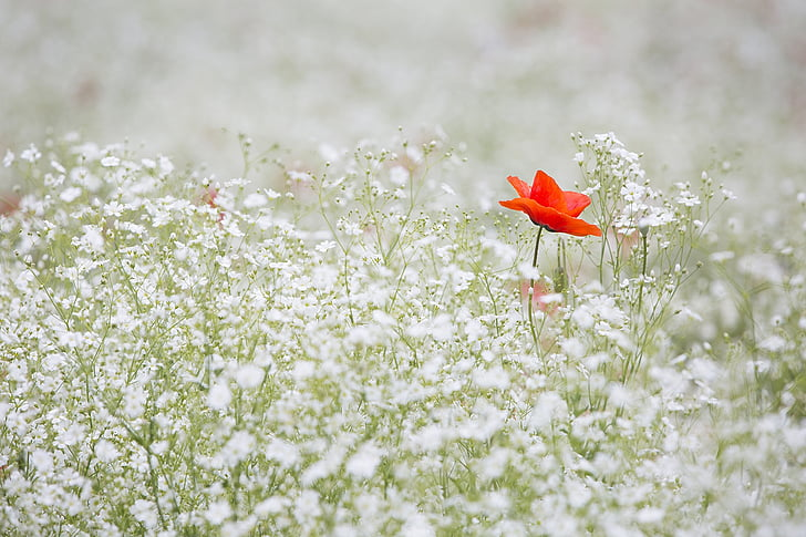 poppy, gypsophila elegans, red color, white, garden, red, flower