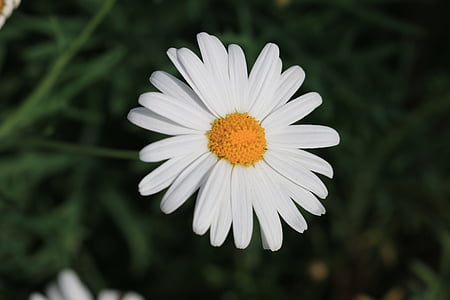 daisy, white, flower, plant, nature, flowers, green