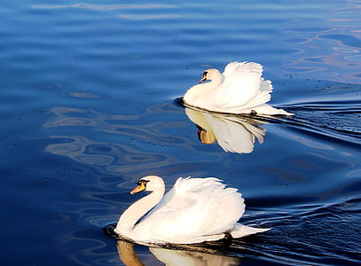 swans, couple, pride, plumage, lake, lake constance, rorschach