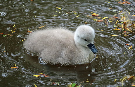 signet, baby swan, water, young, bird, lake, cute