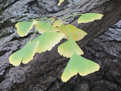 autumn, arboretum, ginkgo biloba, autumn leaves