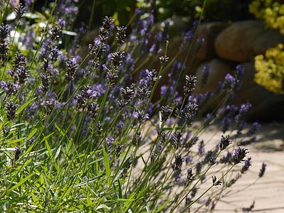 lavanda, flor, flor, natura, jardí, porpra, flor