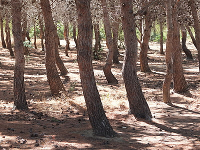 forest, pine, trees, conifer, nature, pine forest, pine family