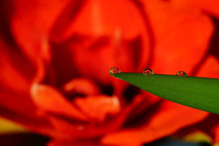 flor, degoteig, reflectint, flor cau, amarillis, tancar, gota d'aigua