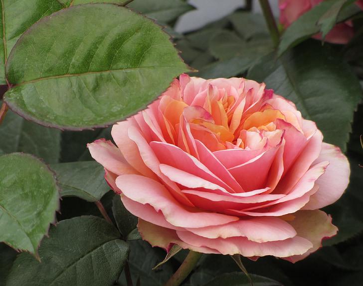 Rosa, rosa Rosa, flor, flors roses, roses de jardí
