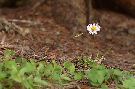 gänsblümchen, flower, meadow, wild flower, spring, bloom, white