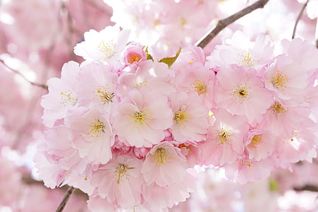 japanese cherry trees, ornamental cherry, flower tree, cherry blossom, pink, blossom, bloom