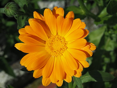 Medetkų, oranžinė, Sodininkystė, Vaistinė medetka, žiedų, žydėti, gėlė