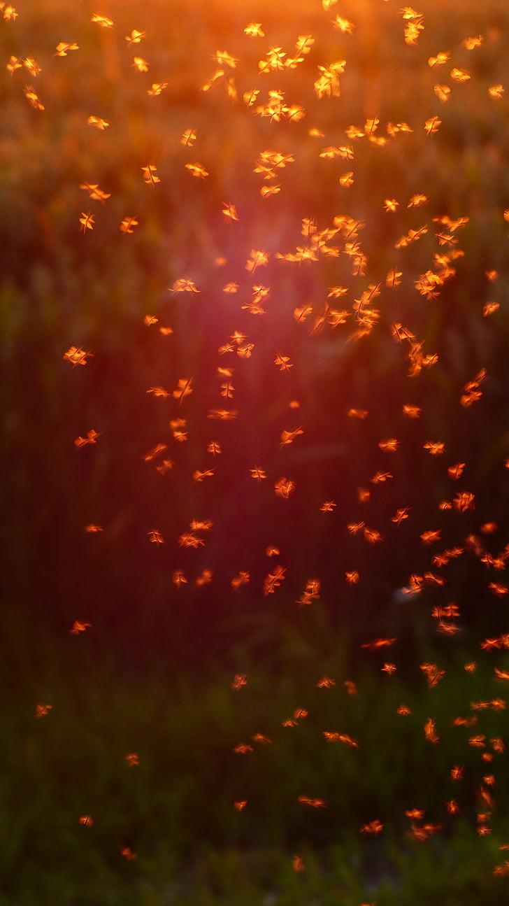 biting knišļiem, trīsuļodus, odu bars, bars, odi, fliegenschwarm, gaismu atpakaļ