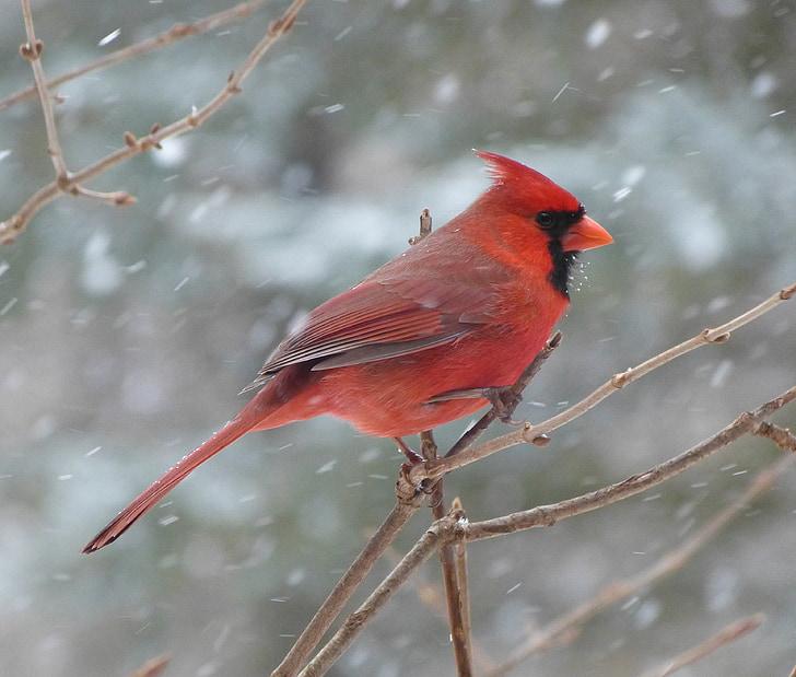 ptica, kardinal, moški, sneg, pozimi, rdeča, zimsko razpoloženje